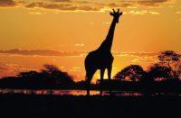 giraffe-at-sunset__large